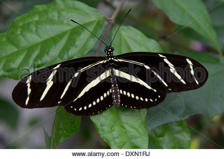 Zebra Longwing Butterfly: Heliconius Charitonius Stock Photo.