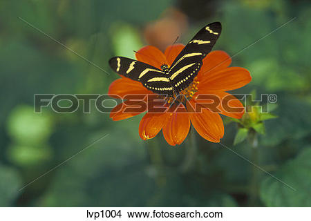 Stock Photo of An overhead view of a Zebra Longwing Butterfly.