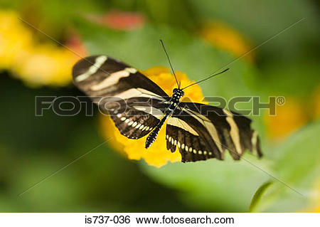 Stock Images of Zebra longwing butterfly is737.