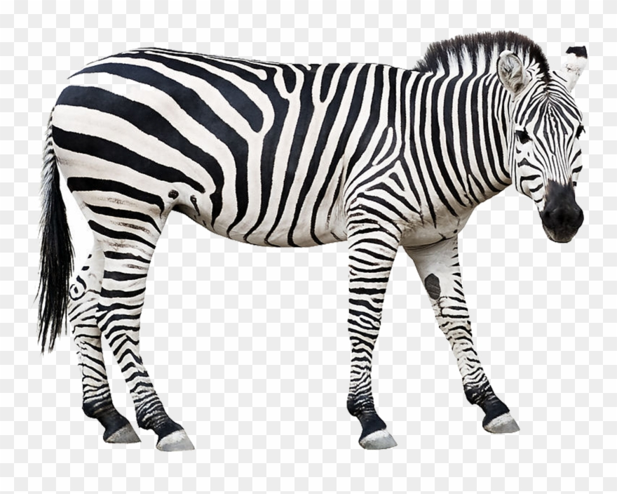 Picture Free Zebra Stock Photography Clip.