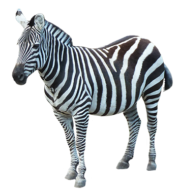 Zebra PNG Image.