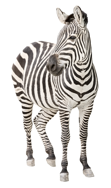 Zebra PNG Transparent Image.