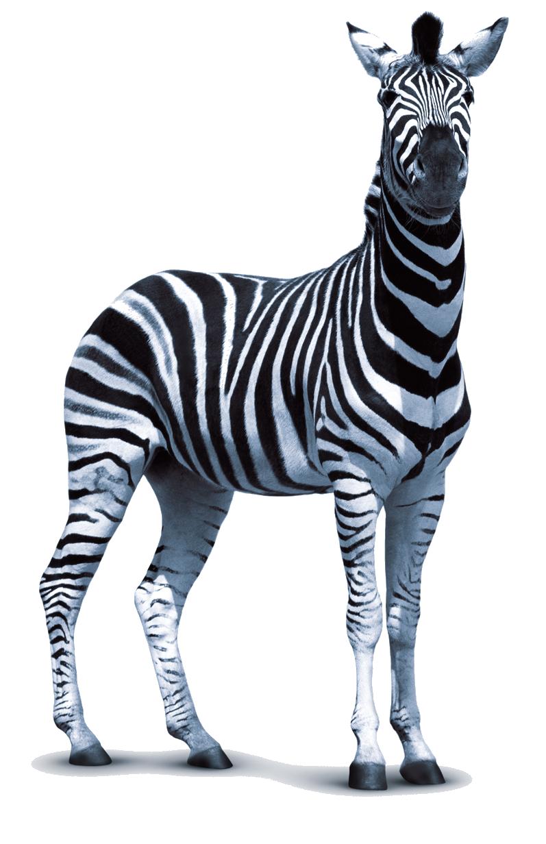 Zebra PNG Images Transparent Free Download.