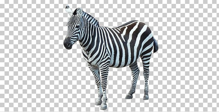 Zebra Sideview PNG, Clipart, Animals, Zebras Free PNG Download.