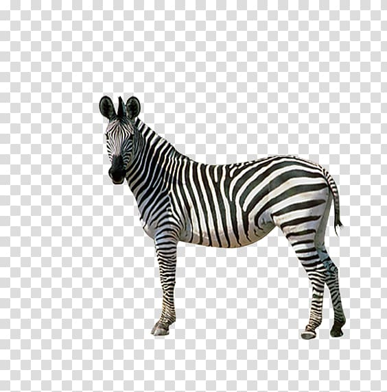 Horses Zebra Donkey, Zebra back transparent background PNG.