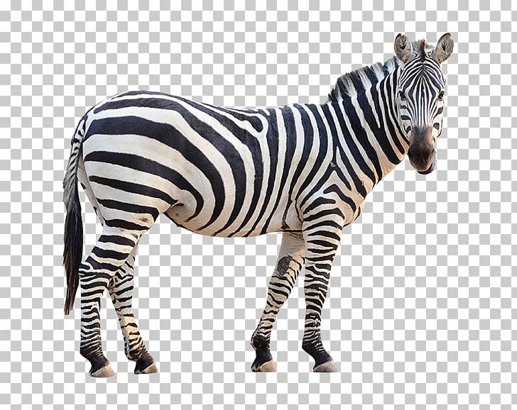 Plains zebra Stock photography Fotolia, zebra PNG clipart.