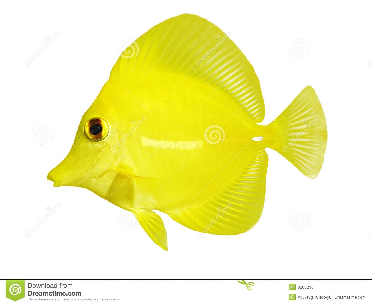 Yellow Tang.