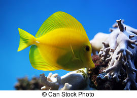 Picture of Yellow Tang fish (Zebrasoma flavescens) and corals on.