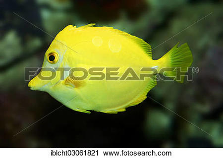 "Stock Photography of ""Yellow Tang (Zebrasoma flavescens), native."