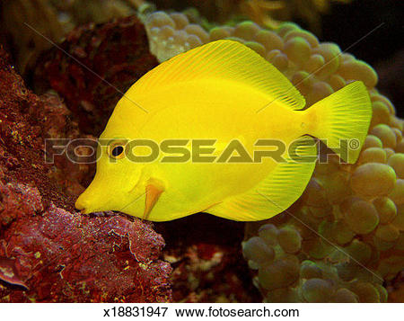 Picture of Yellow Tang (Zebrasoma flavescens) x18831947.