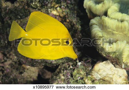 Picture of Yellow tang (Zebrasoma flavescens), tropical reef fish.