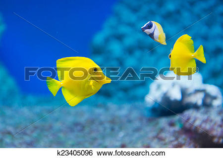 Stock Images of Zebrasoma flavescens.