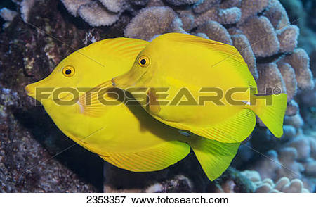 Picture of Underwater view of a Yellow Tang (Zebrasoma flavescens.