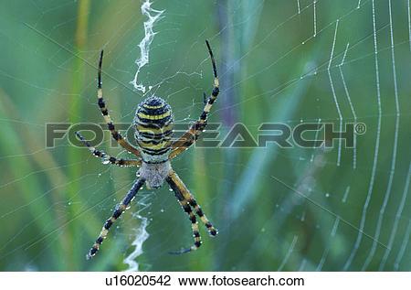 Stock Photo of zebraspinne, wespenspinne, animals, arachnid.