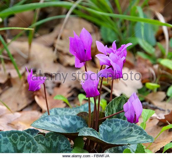 Alpenveilchen Stock Photos & Alpenveilchen Stock Images.