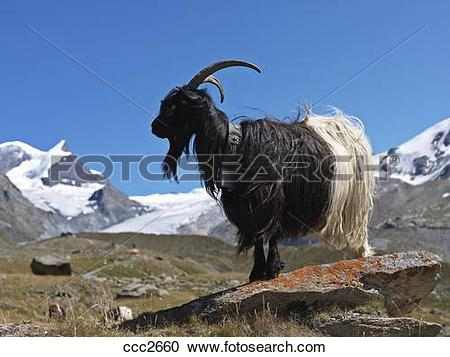 Stock Photography of Switzerland, Valais, Zermatt,mountain goat in.