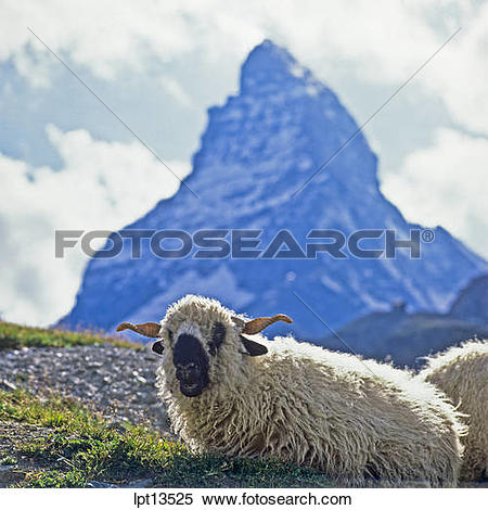 Stock Image of Horned Valais blacknose sheep, Matterhorn, Zermatt.
