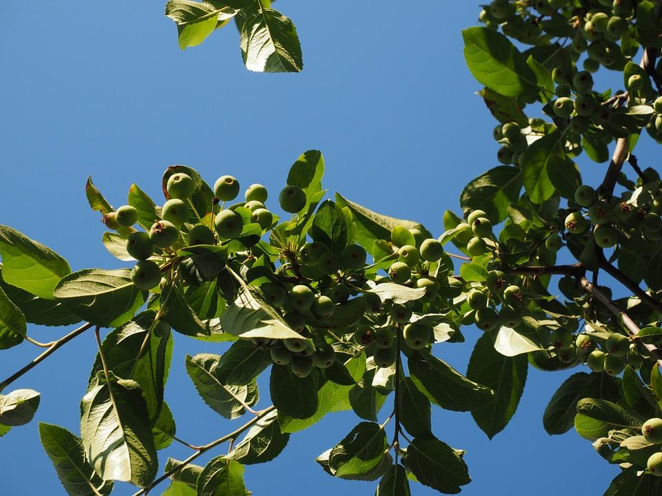 Free photo Wild Apples Zieraepfel Ornamental Apple Tree.