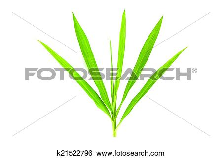 Stock Images of Zingiber cassumunar is a species of plant in the.