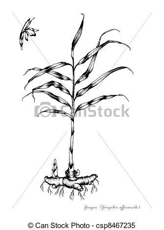 Stock Illustrations of Ginger (Zingiber officinale) csp8467235.