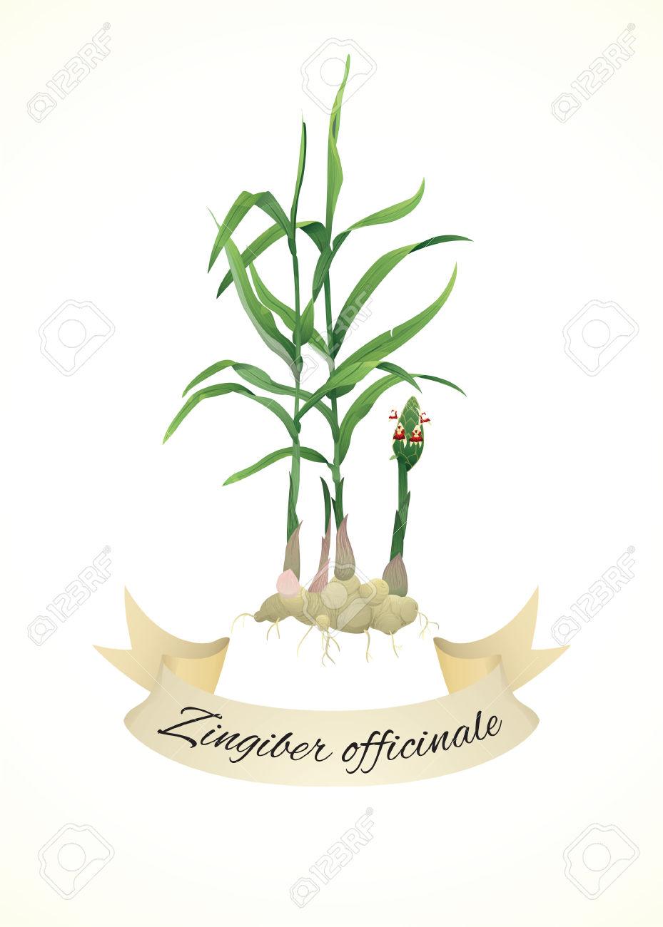 Botanical Illustration Of Ginger Plant (Zingiber Officinale.