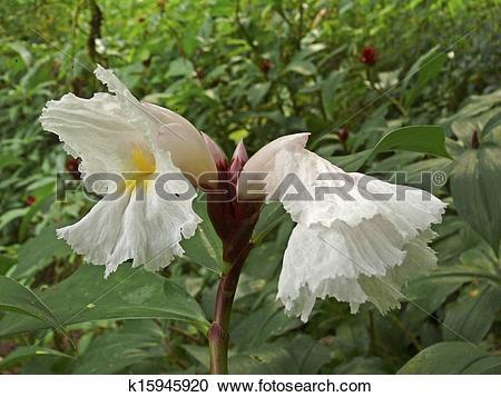 Stock Photography of Flowers of Costus Speciosus Family.