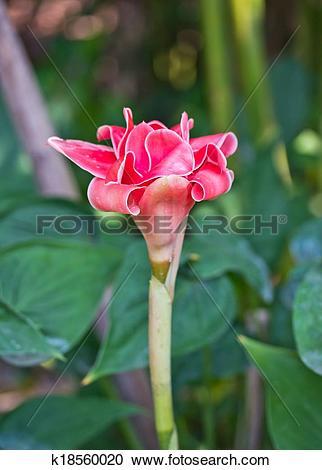 Stock Photography of torch ginger, etlingera elatior flowers.