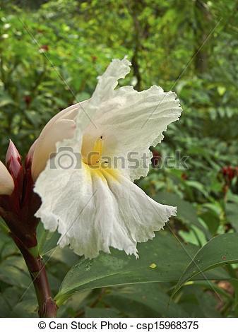 Picture of Flowers of Costus Speciosus Family: Zingiberaceae.