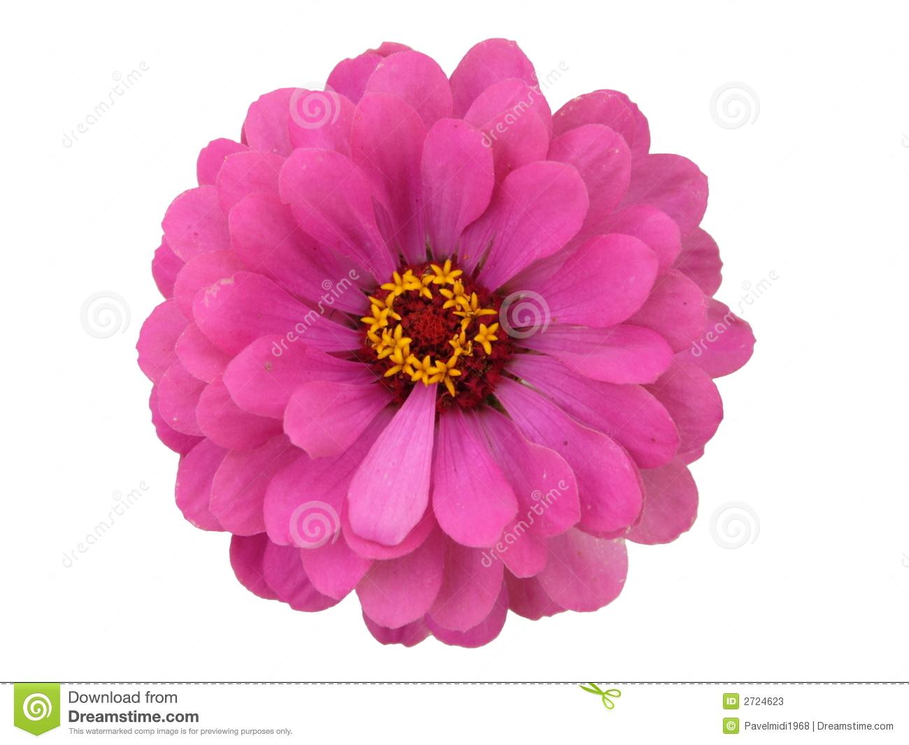Pink Zinnia Clip Art.
