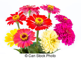 Zinnia Images and Stock Photos. 3,886 Zinnia photography and.