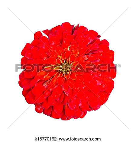 Stock Photo of Red Zinnia Elegans Isolated on White Background.