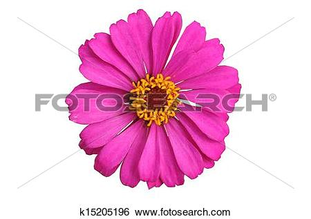 Stock Images of Pink Zinnia Elegans Isolated k15205196.
