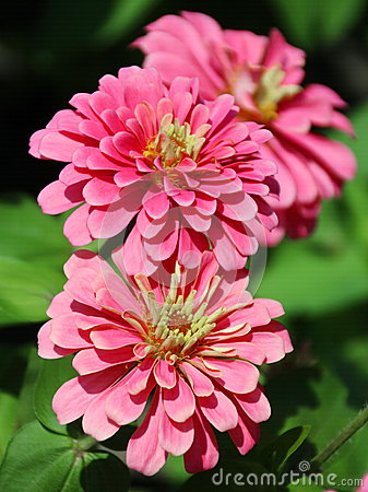 African Zinnia Stock Photos, Images, & Pictures.