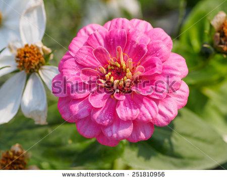 Zinnia Flower Stock Photos, Royalty.
