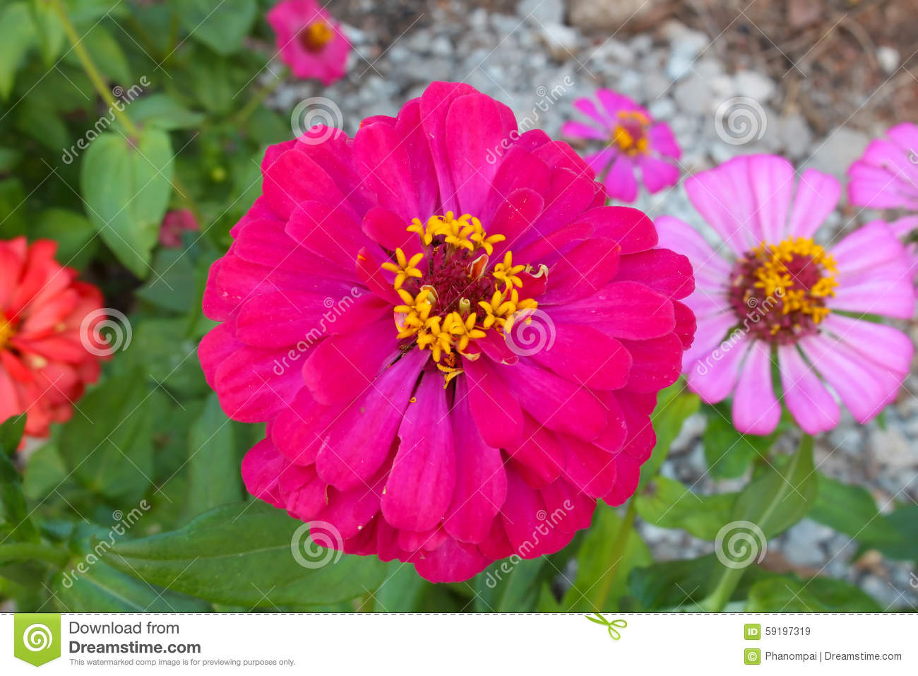 Zinnia Flower (Zinnia Violacea Cav.) Stock Photo.