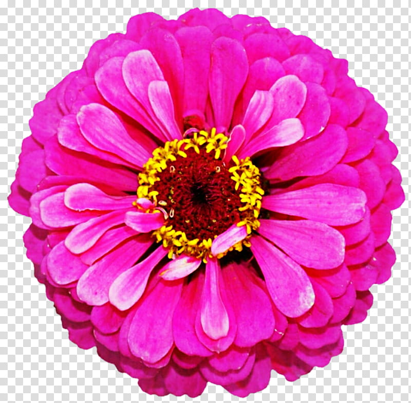 Bright Pink Zinnia transparent background PNG clipart.