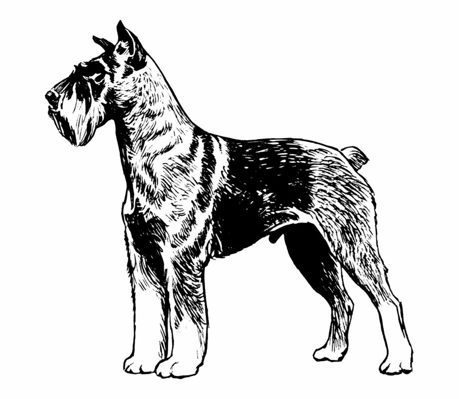Terrier Dog Pet Animal Biology Mammal Zoology Great.