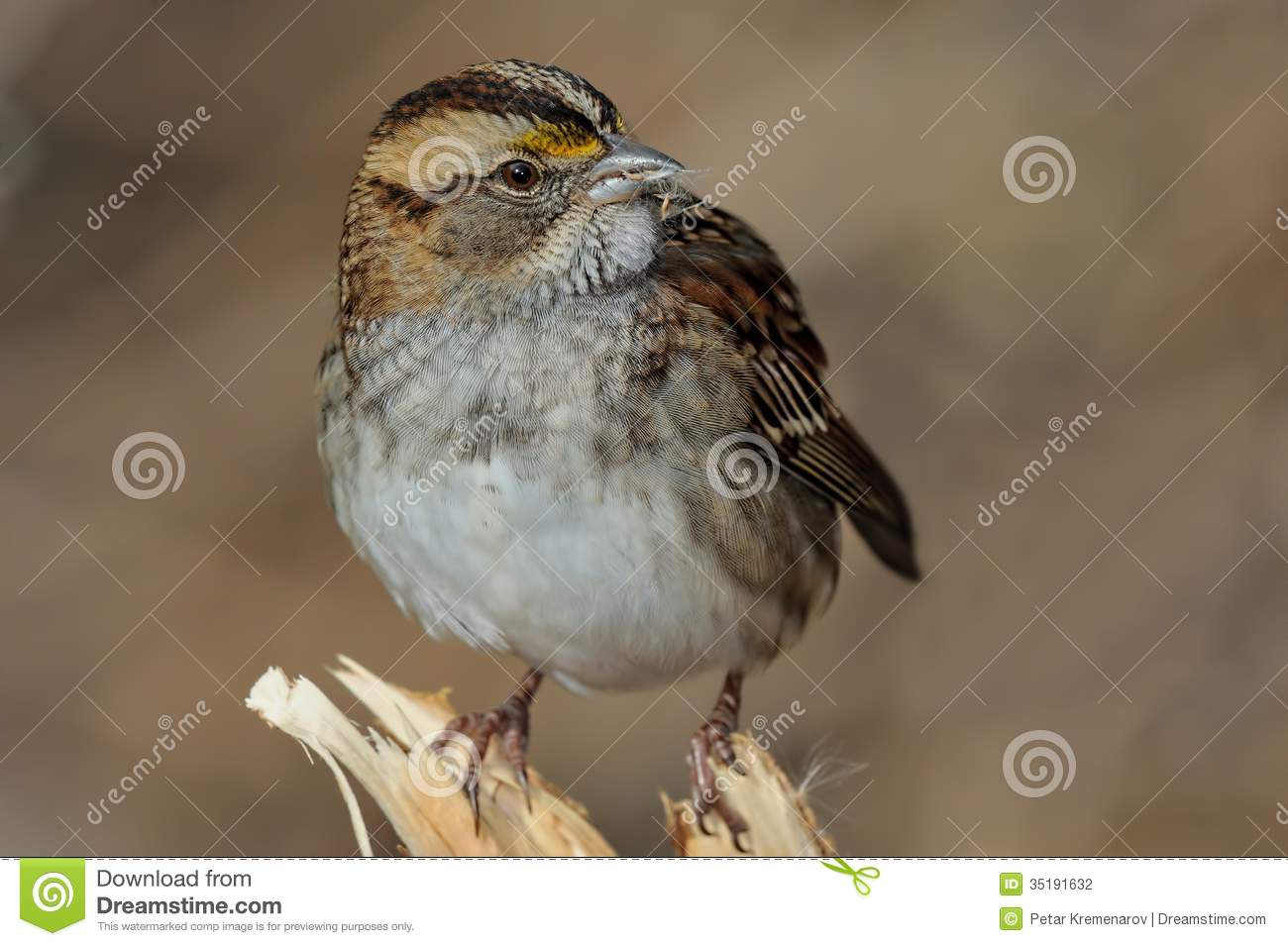 White Throated Sparrow Stock Photography.