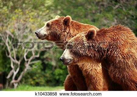 Pictures of Brown bear looking for food in Madrid Zoo k10433858.