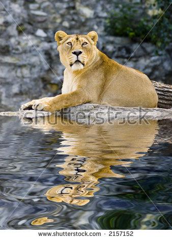 Lion Reflection Stock Photos, Royalty.