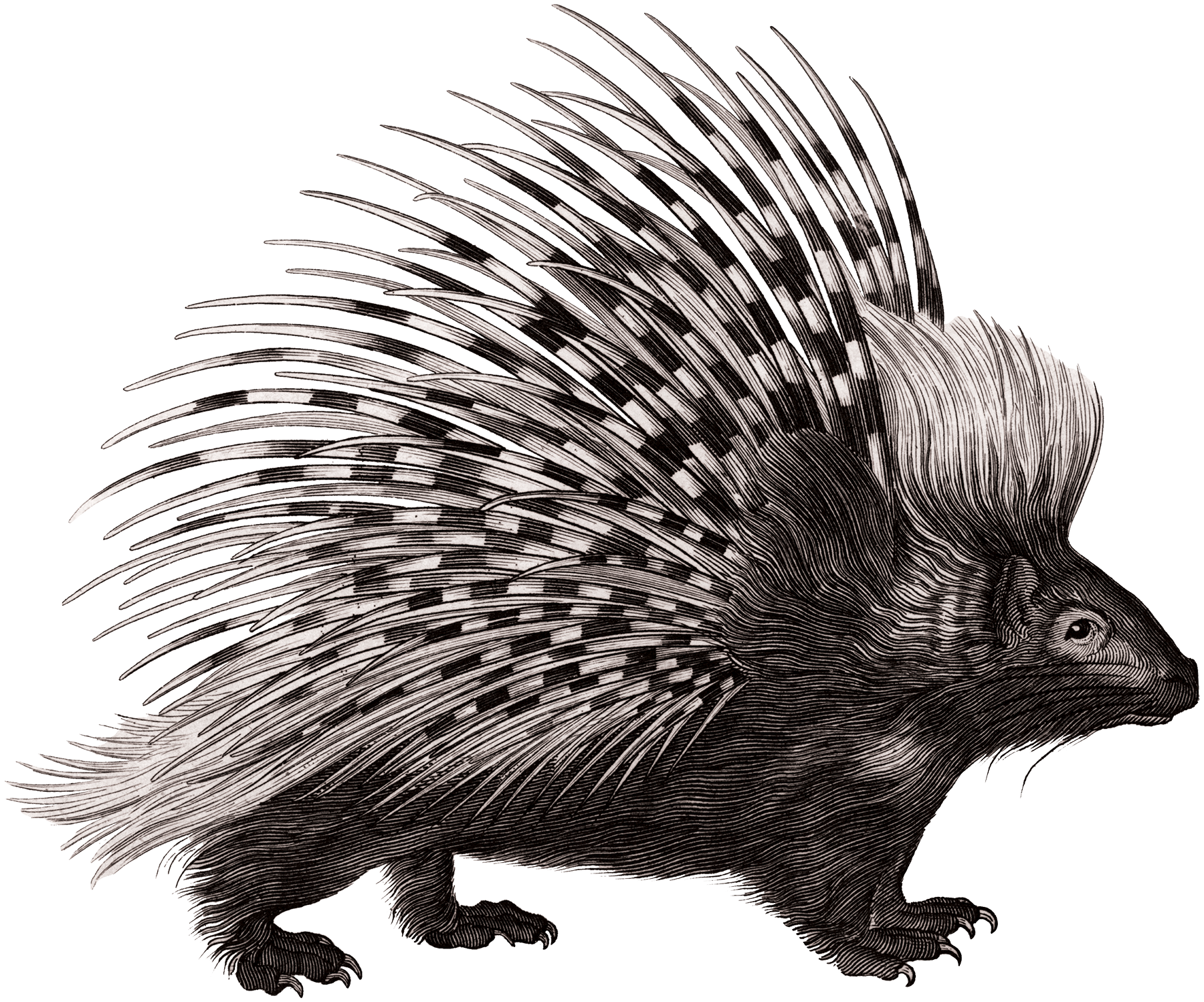 Crested porcupine Rodent Zoological Lectures Delivered at.