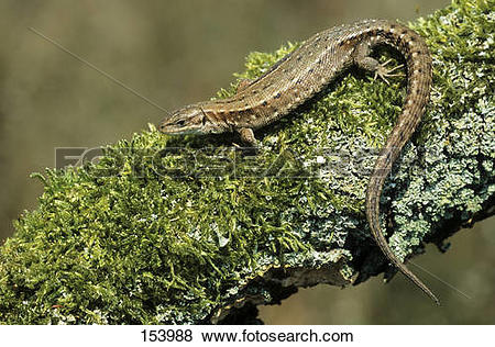 Pictures of Common Lizard.