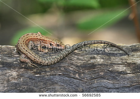 Common Lizard Stock Photos, Royalty.