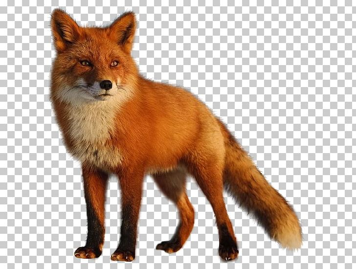 Fox Photography Zorro PNG, Clipart, 7 K, Animal, Animal Gif, Animals.