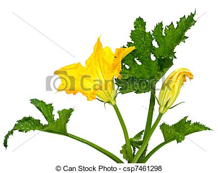 Pictures of flower and leaf squash.