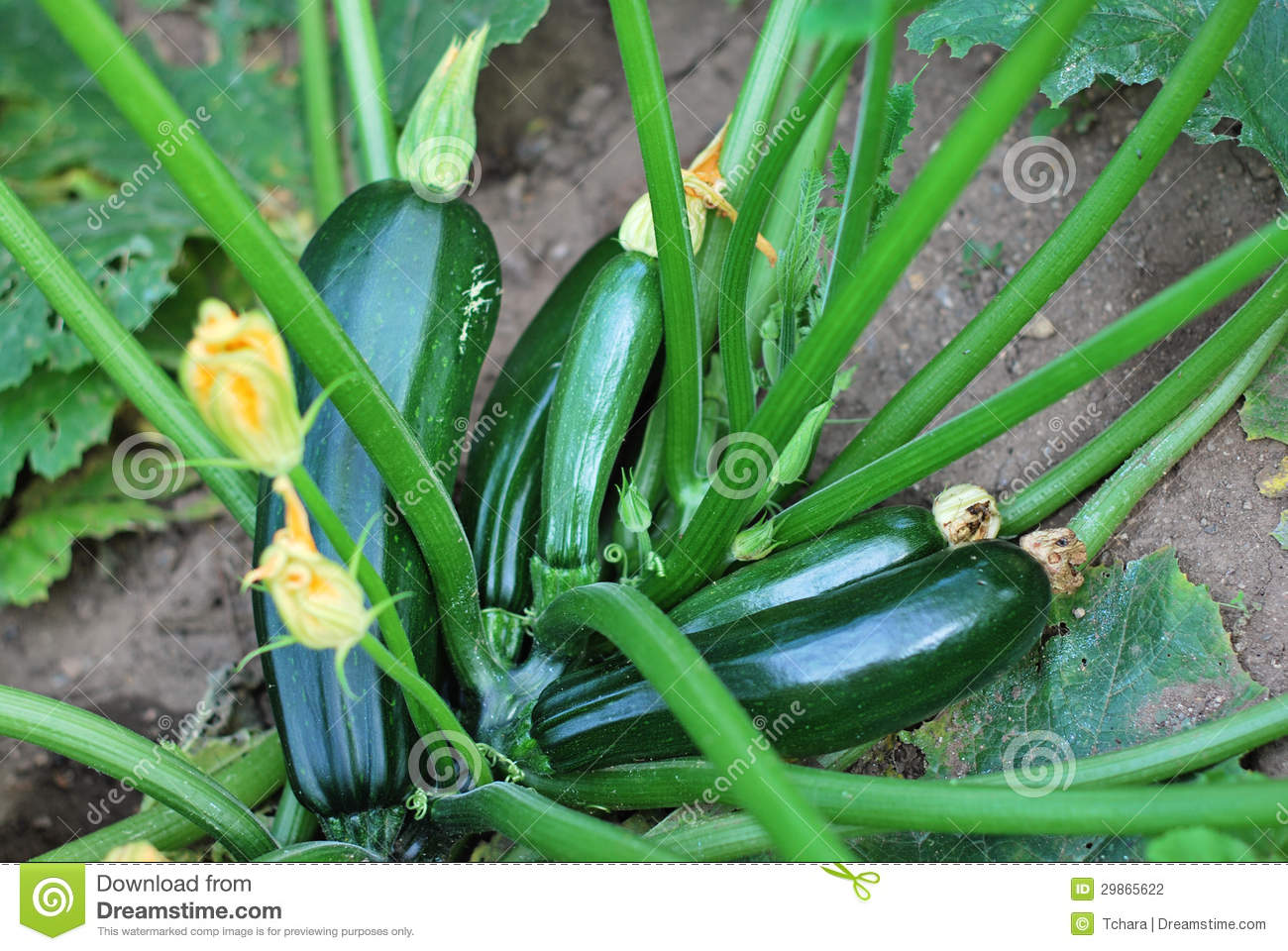 Zucchini Plant With Flowers And Fruits Stock Photo.