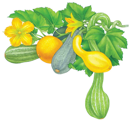 All About Growing Summer Squash.