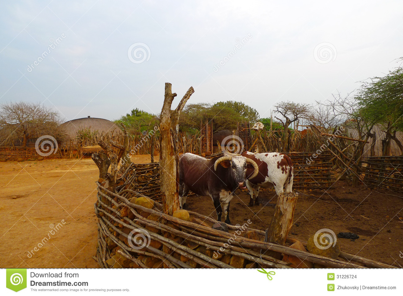 African Nguni Bulls At The Great Kraal In Zululand, South Africa.