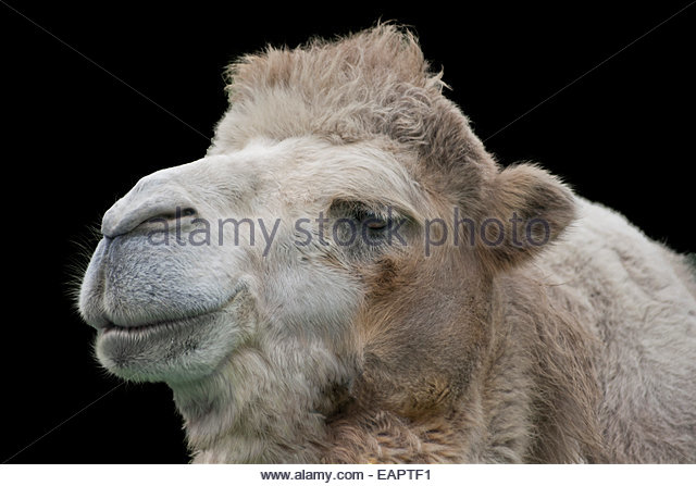 Camel Animal Funny Stock Photos & Camel Animal Funny Stock Images.