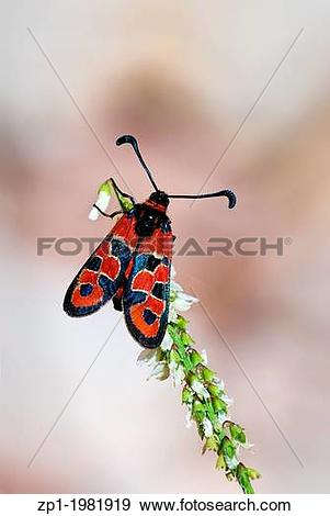 Stock Photograph of Butterfly or moth night Zygaena perched on a.